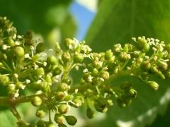 Floración de la uva