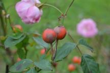 Rosa linalol