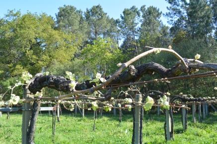 Brotes en el viñedo de San Fardán